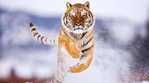 siberian tiger wallpaper desktop. Delighful Desktop Free Tiger Wallpapers Desktop  Long Animals Beautiful Majestic  Animals Exotic Inside Siberian Wallpaper R