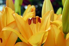 Image result for summer flower bulbs