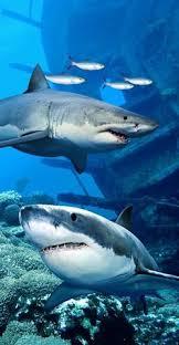 tiger shark iphone wallpaper. Brilliant Wallpaper Shark Endanger Beach Towel In Tiger Iphone Wallpaper L