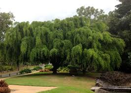 large weeping tree growing in park near cairns ficus benjamina