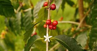 Small batch roaster, wholesale coffee orders available. Plant Disease Plaguing Kona Coffee Beans Is Hurting The Hawaiian Staple