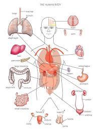 Internal Organ Location Chart Free Human Body Organs Download Free Clip Art Free Clip