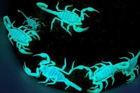 Why do scorpions <b>glow in the</b> dark (and could their whole bodies be ...