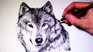 gray wolf drawing colored. Simple Colored Inside Gray Wolf Drawing Colored