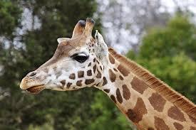 picture of a giraffe. Brilliant Picture Closeup Of The Head A Giraffe At Melbourne Zoo With Picture Of A Giraffe