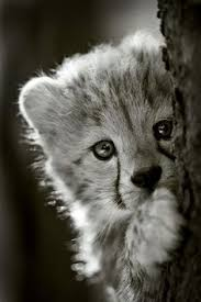 baby white cheetah. Fine Baby How Adorable Are These Snugly Cheetah Cubs From The Metro Richmond Zoo   Explore Natural World Pinterest Cheetahs Zoos And Animal In Baby White Cheetah