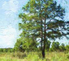 artistic photograph painted texas pine tree by linda phelps