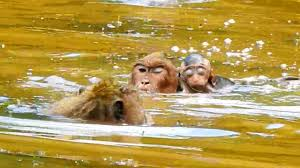 nearly baby brutus jr drown the water while mom swimming baby brutus jr look so tired and weak