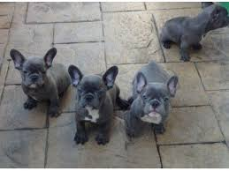 top quality blue french bulldog puppies