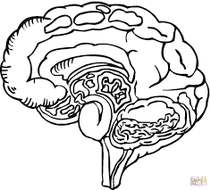 Small Picture Human Brain Coloring Page Free Printable Coloring Pages