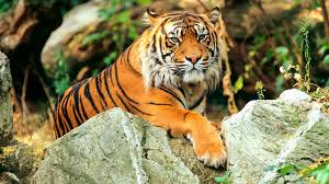 images of tigers.  Tigers Of All Living Tigers Only The Sumatran Tiger Is Sufficiently Different To  Be Classed As And Images Tigers G