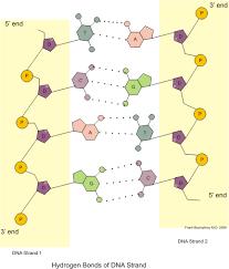 Dna Structure Expii