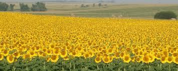 blooming sunflower field