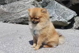 When Do Pomeranians Stop Growing Spinning Pom