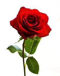 Hasil gambar untuk gambar batang mawar