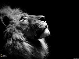 wallpapers for lion wallpaper hd 1080p black and white