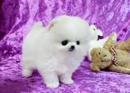 outstanding pomeranian puppies contact 510 313 7180