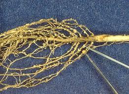 Soybean Cyst Nematode Alchetron The Free Social Encyclopedia