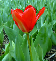 i like a challenge and there isnu0027t much thatu0027s more challenging to nature photographer than red flower they are very hard get good photo of for flowers that look tulips h58
