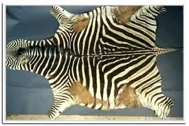 real zebra rug authentic zebra hide rug zebra skin rug photo 6 of genuine zebra rug