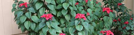 Caring For Poinsettias After The Holidays - UF/IFAS Extension ...