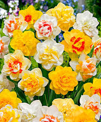 double daffodils mix