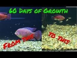 Jewel Cichlid Babies 60 Day Growth Timelapse With Parents