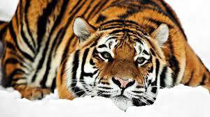 siberian tiger wallpaper desktop. Beautiful Desktop Siberian Tiger Wallpapers HD With Wallpaper Desktop A