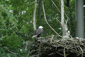 eagles nest size file bald eagle on its nest jpg wikimedia commons