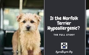 is the norfolk terrier hypoallergenic