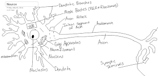 Neuron Structure And Classification Brooke Hamilton Neural