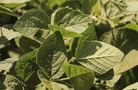 Protect Yield From Soybean Cyst Nematode Crop Science Us