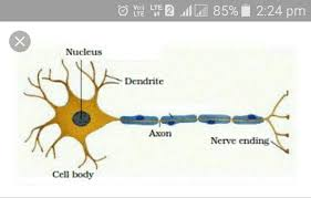 Explain The Structure Of Neuron With The Help Of A Diagram