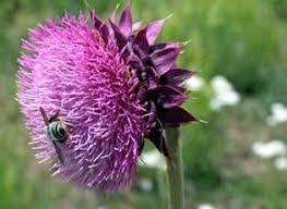 Musk Thistle | National Invasive Species Information Center | USDA