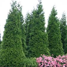 Mature bushy arborvitae trees