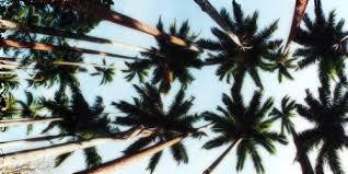 palm trees tumblr header. Exellent Tumblr Palm Tree Wallpaper Tumblr  Google Zoeken With Palm Trees Tumblr Header