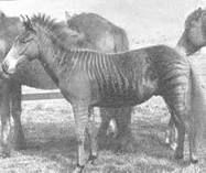 Zebroid - Wikipedia