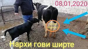 Мол бозори шахритуз 1 кисми дустлар.07 03 2021й. Molbozor Narhi Govi Shirte Bozori Dushanbe 2020 Cena Korova Youtube