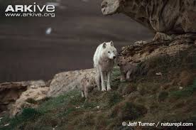 grey wolf size grey wolf photo canis lupus g54632 arkive