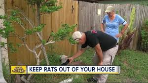rats running amok in st petersburg three ways to keep the rodents out of your house