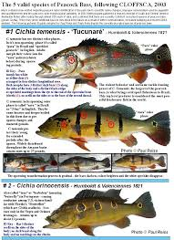 Bass Species Chart The 5 Originally Described Species Of Peacock Bass Acute