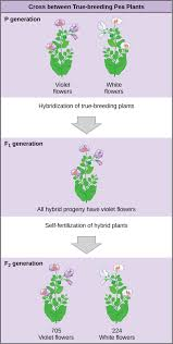 the diagram shows a cross between pea plants that are true breeding for purple flower