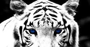 black tiger with blue eyes wallpaper. Contemporary Tiger On Black Tiger With Blue Eyes Wallpaper