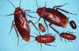 American Cockroach Information How To Get Rid Of American Roaches