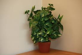 office indoor plants. UK-Gardens Large Artificial Variegated Scindapsus Plant Foliage Office Or House Indoor UKG3047 Plants I
