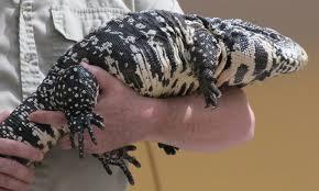 Argentine Black And White Tegu Destructive Invasive