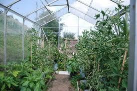 vegetables growing inside my greenhouse