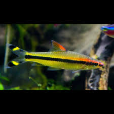 the roseline shark is a graceful and peaceful community fish  the roseline shark is a graceful and peaceful community fish minimum order of 6 roseline