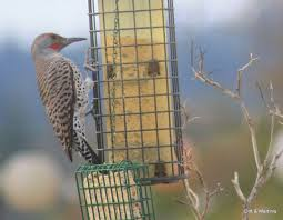 bird feeder suet recipe for woods luxury 30 best for the birds images on of