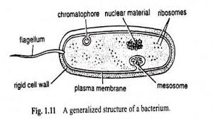 bacteria cell  meaning and structure  with diagram bacterium